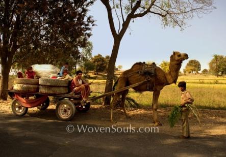 Camel Cart in Rajasthan